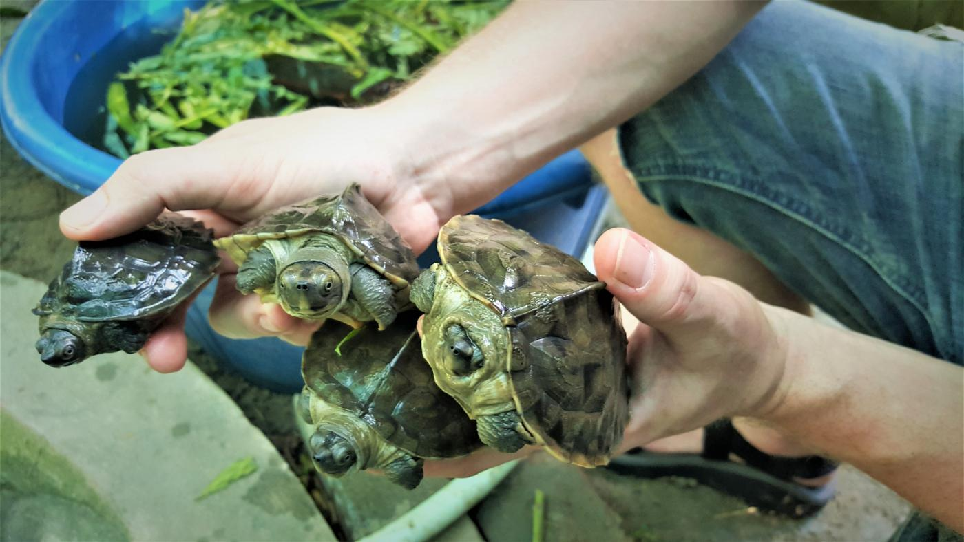 Assistant curator Matt Evans holds four juvenile Burmese roofed turtles at a facility in Myanmar.