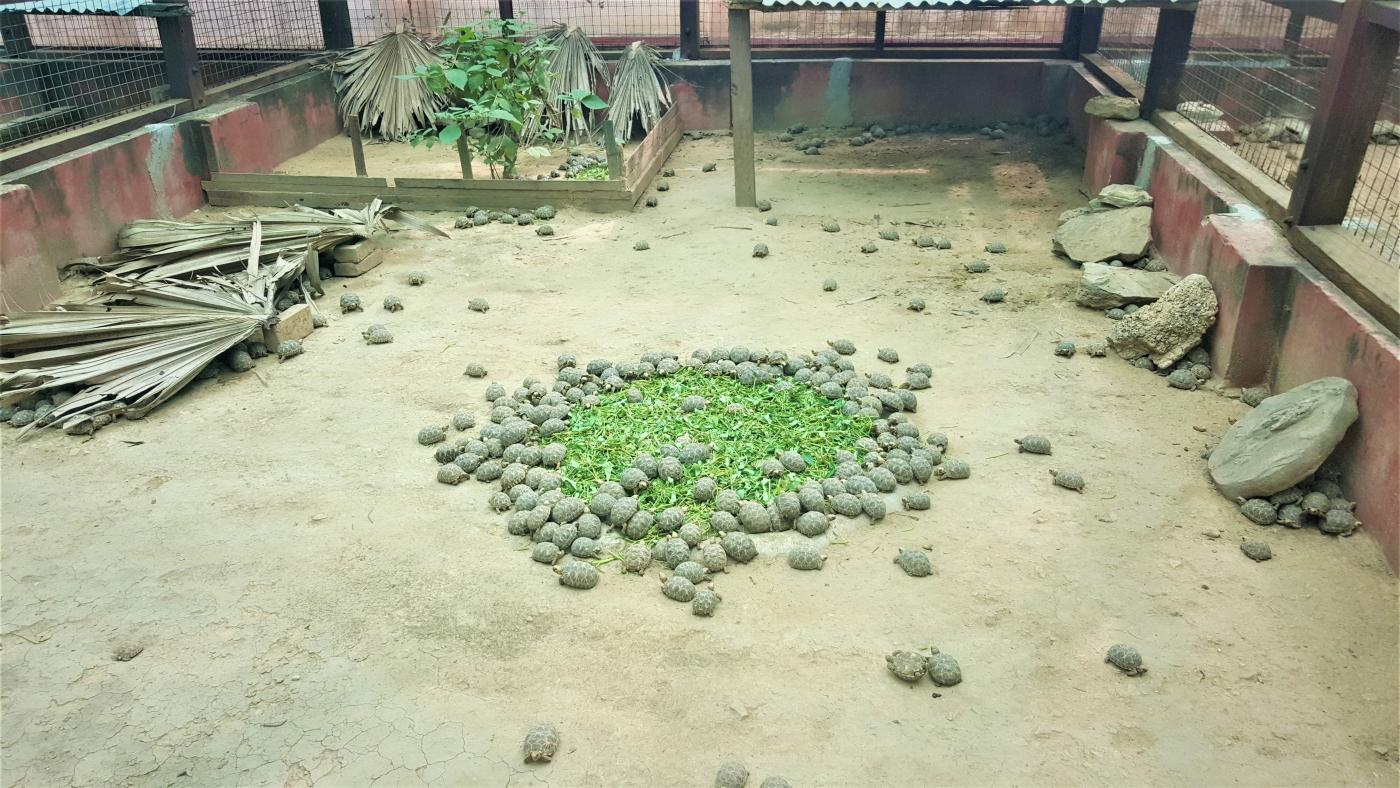 Turtles eat at a facility in Myanmar.