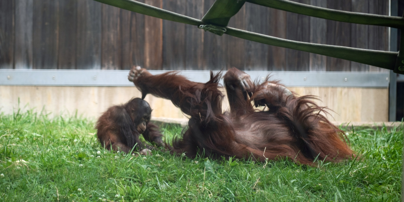 Bornean orangutan Redd plays with adult female Lucy in the Great Ape House yard.