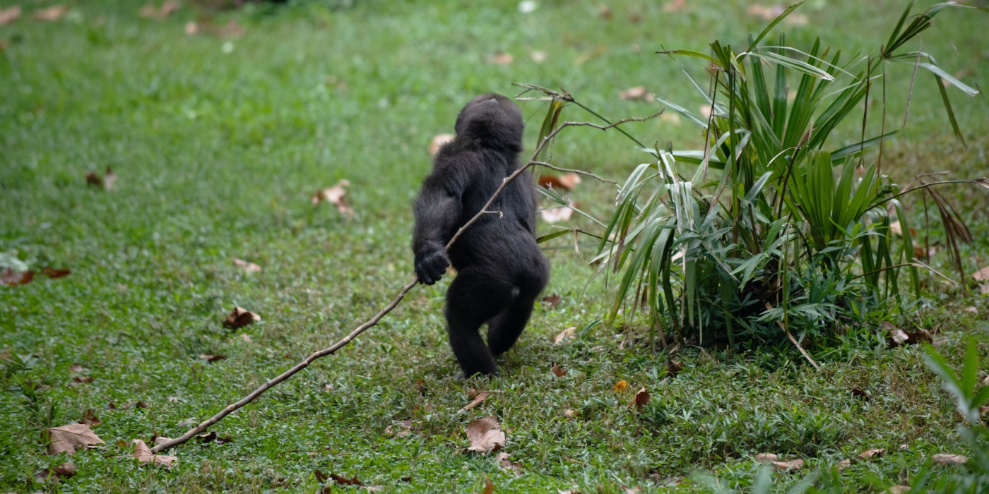 Moke runs carrying a stick in the Great Ape House outdoor yard.