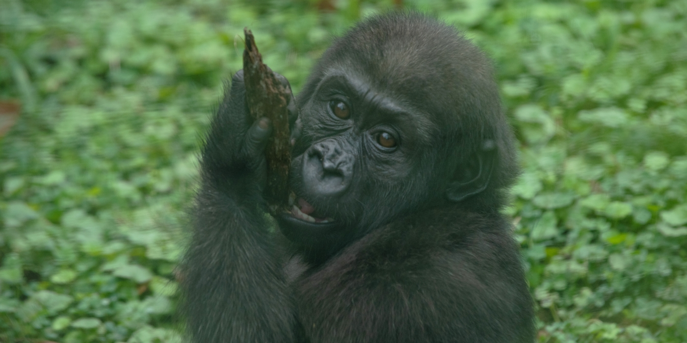 Close-up photo of 1.5-year-old western lowland gorilla Moke.