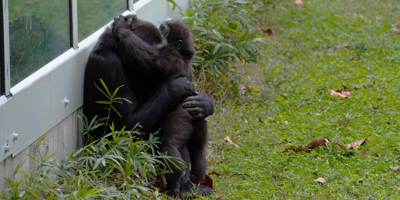 Western lowland gorillas Kibibi (left) and Moke (right) embrace in the outdoor yard.