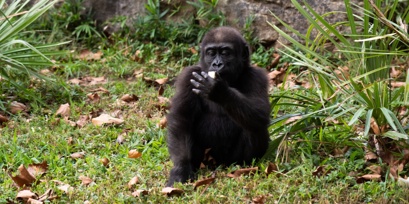 Moke nibbles on a piece of fruit in the outdoor gorilla yard.