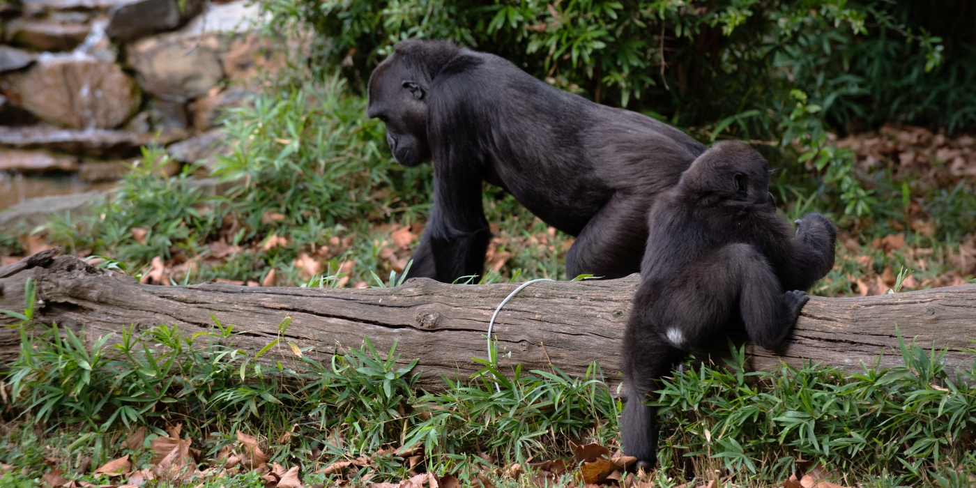 1.5-year-old gorilla Moke will have a white patch of hair on his rump until around the time he turns 4 years old.