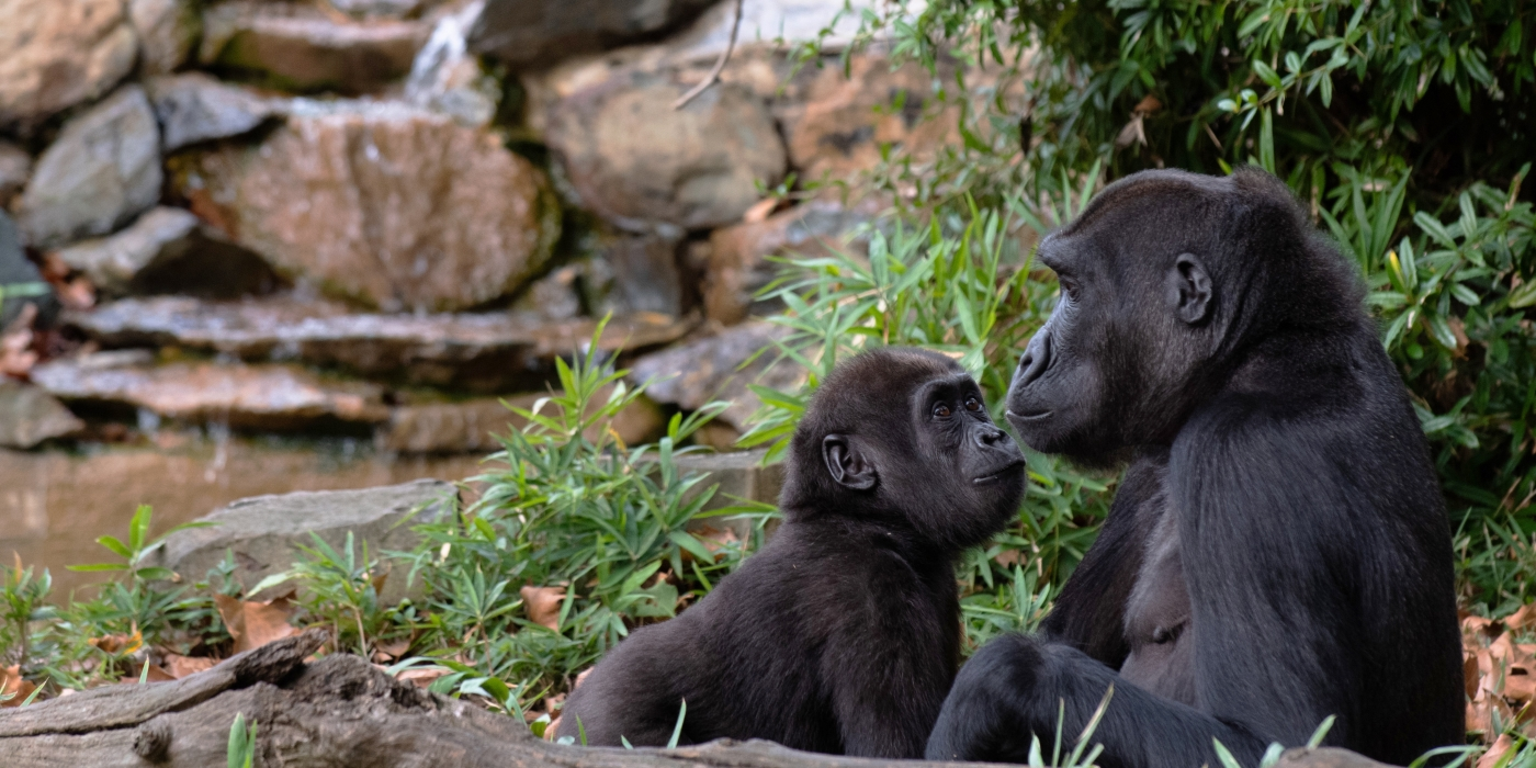 Western lowland gorilla Moke (left) looks at his best buddy, Kibibi (Right).