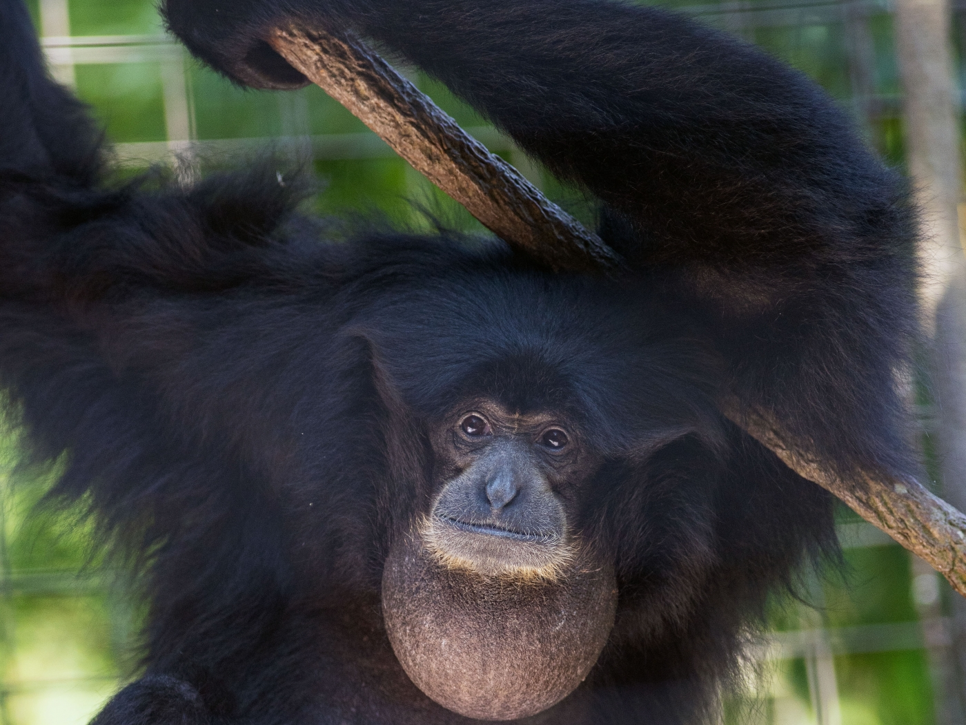 Siamang Bradley at the Smithsonian's national Zoo.
