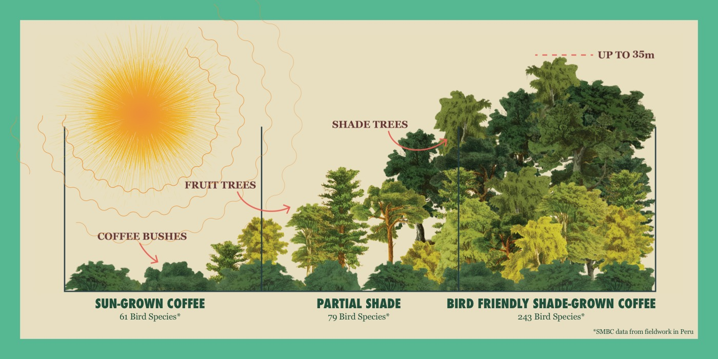 An infographic demonstrating the difference in shade cover between sun-grown coffee, partial shade and Bird Friendly coffee, which contains the most diverse habitat and shade cover