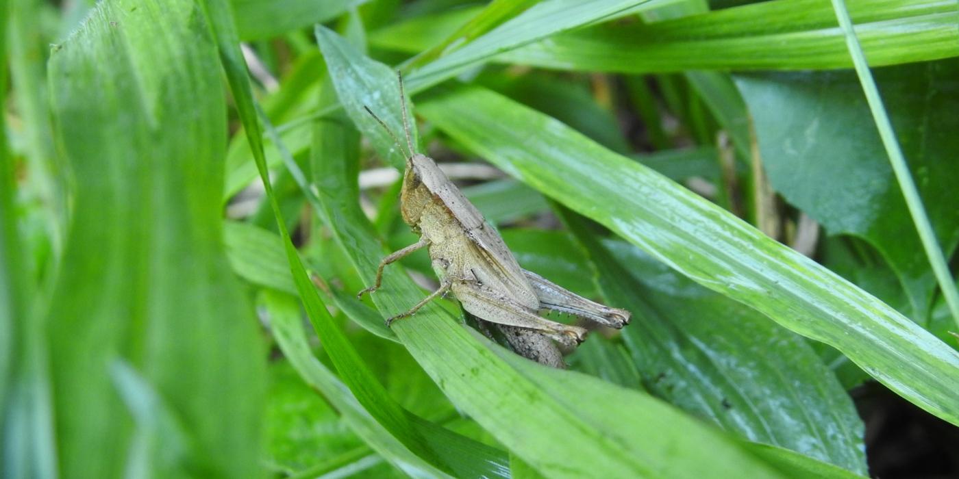 Virginia Working Landscapes grasshopper