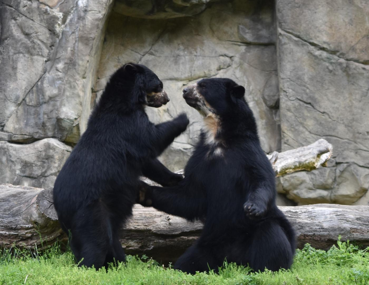 Andean bears Billie Jean and Quito.