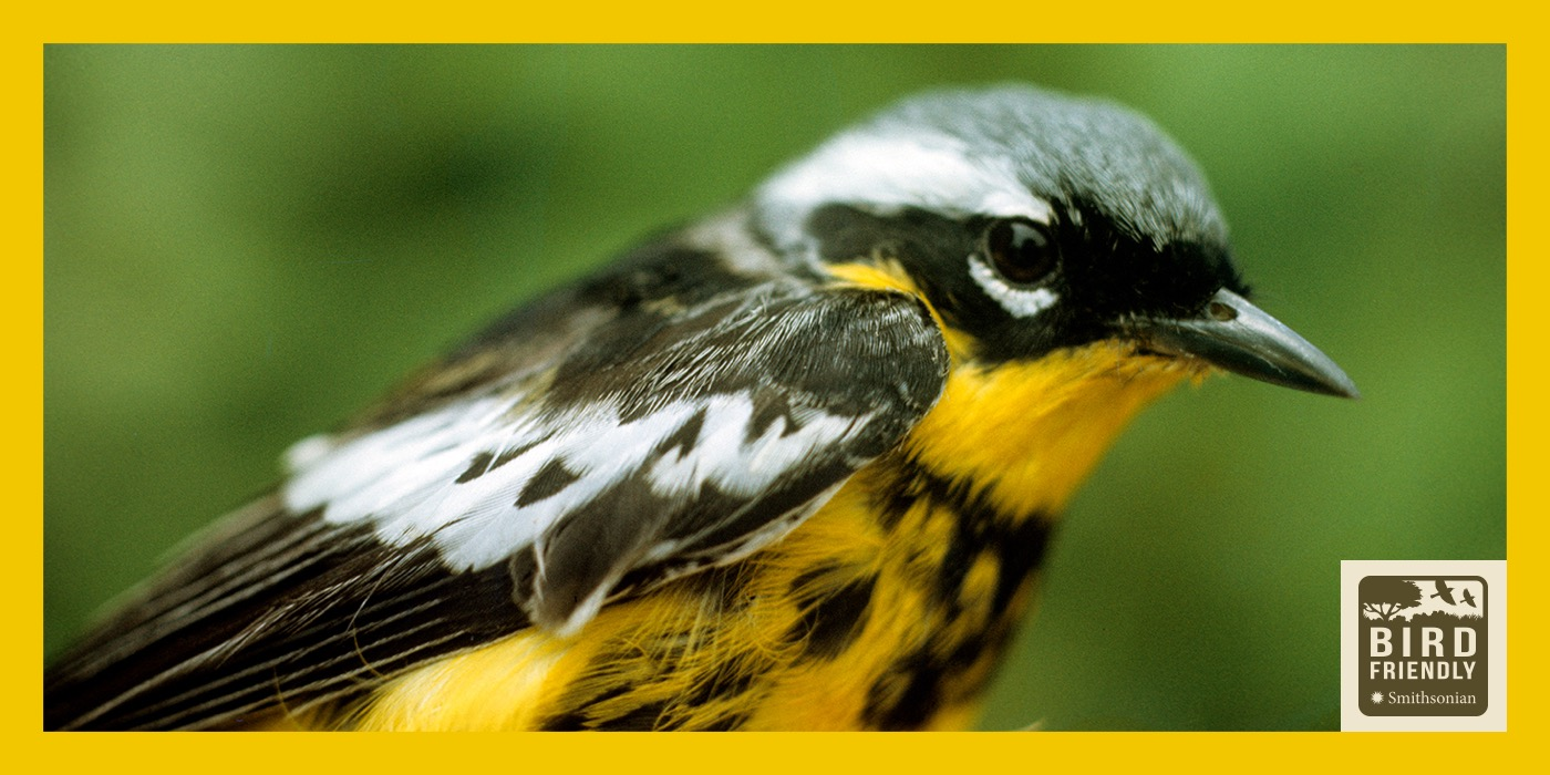 A close-up of a black, white and yellow bird. The image is surrounded by a yellow border and features the Bird Friendly Coffee logo in the bottom, right-hand corner