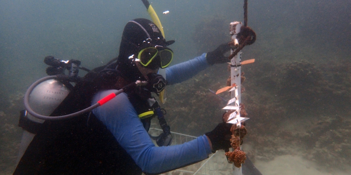 SCBI scientist Mike Henley checks on the brown rice coral and blue rice coral fragments in the coral nursery.