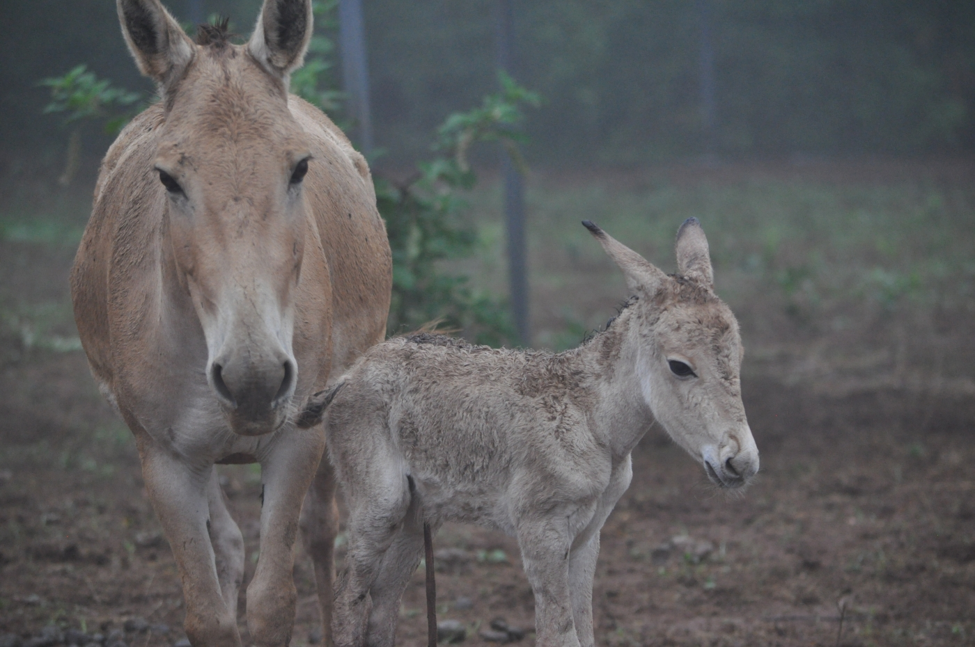 A Persian onager foal (R) stands next to its mother (L) at the Smithsonian Conservation Biology Institute.