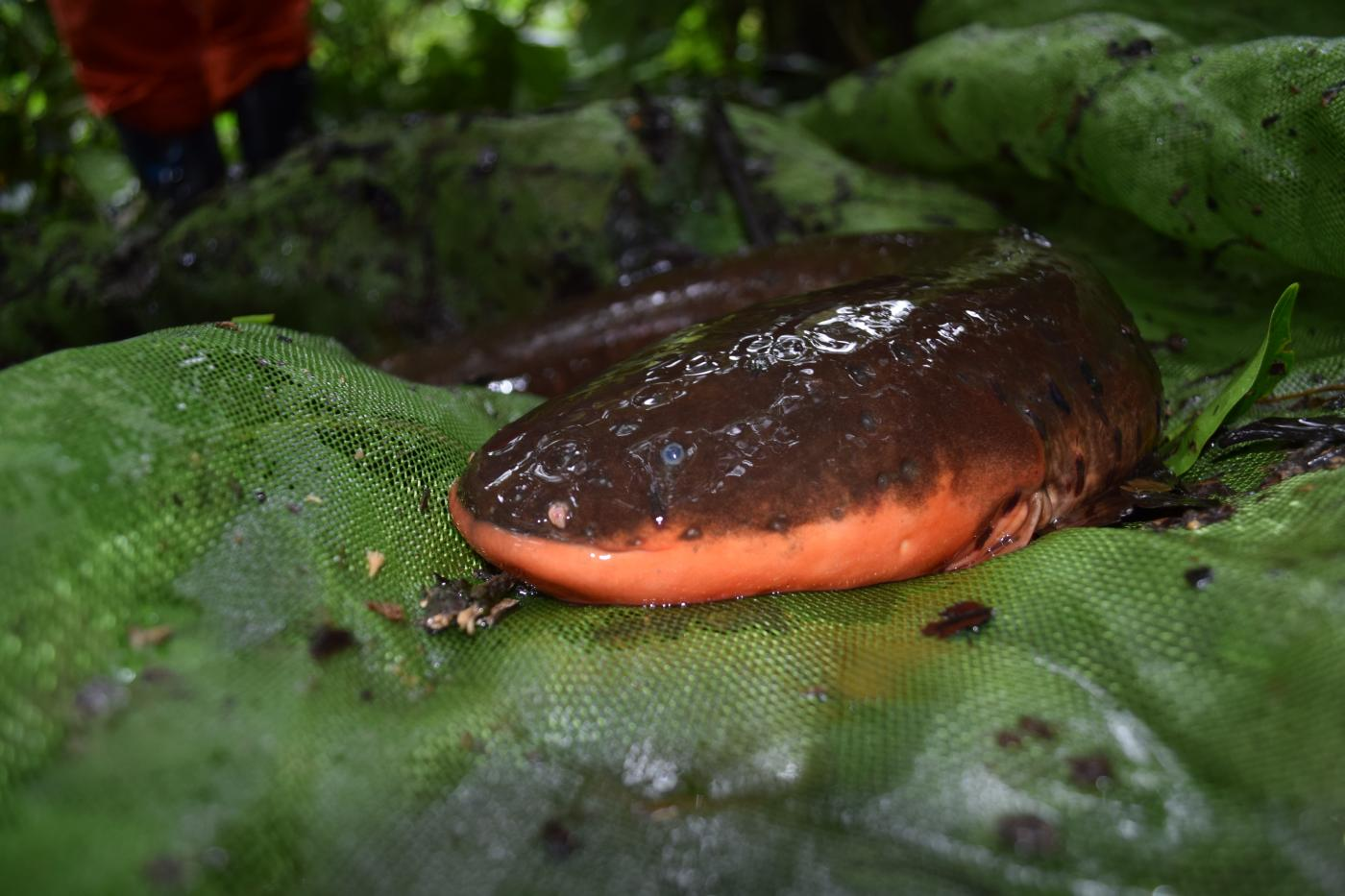 An electric eel resting on top of a mesh net in the Peruvian Amazon