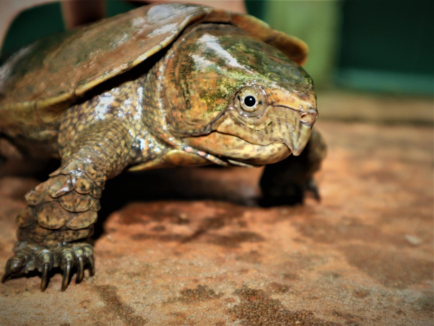 An adult male Chinese big headed turtle in a Myanmar rescue facility.