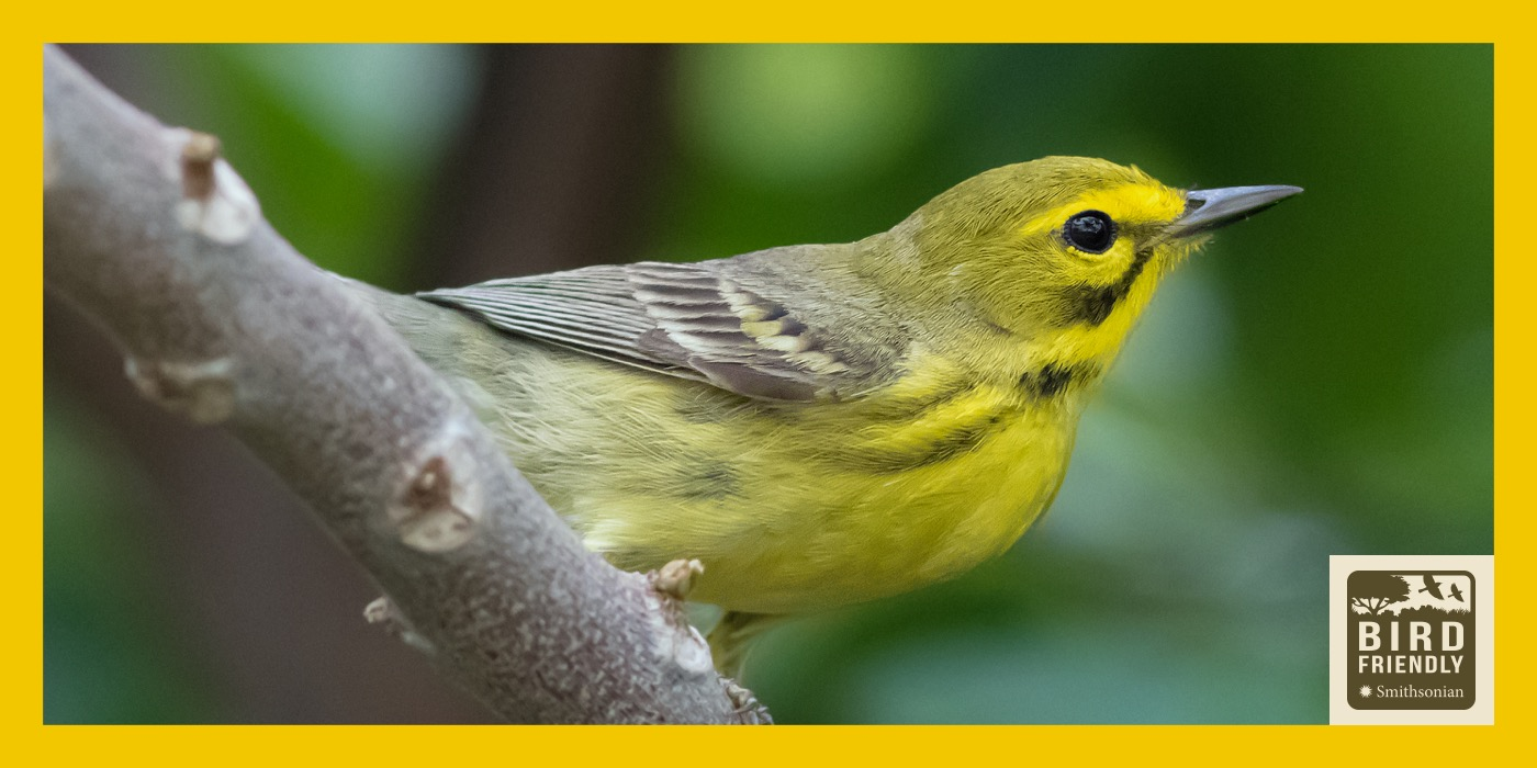 A yellow and gray bird perched on a tree branch. The image is surrounded by a yellow border with the Bird Friendly Coffee logo in the bottom, right-hand corner