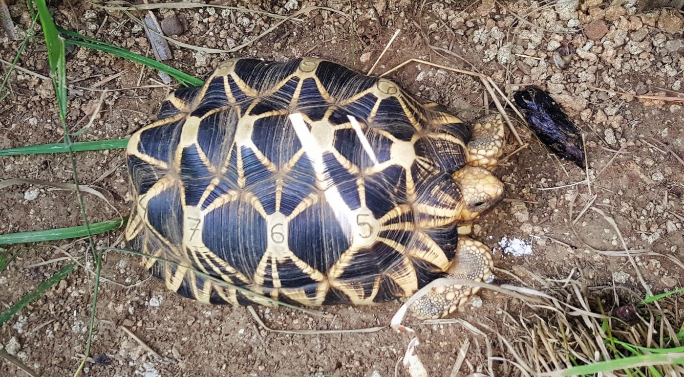 A turtle in Myanmar marked with the numbers 765 for identification.