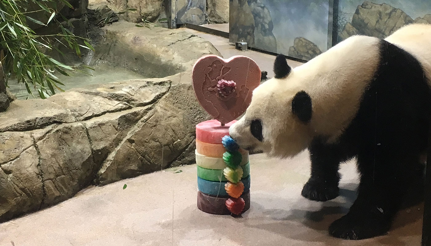 A giant panda takes a bite of a rainbow-themed ice treat for International Family Equality Day at the Zoo