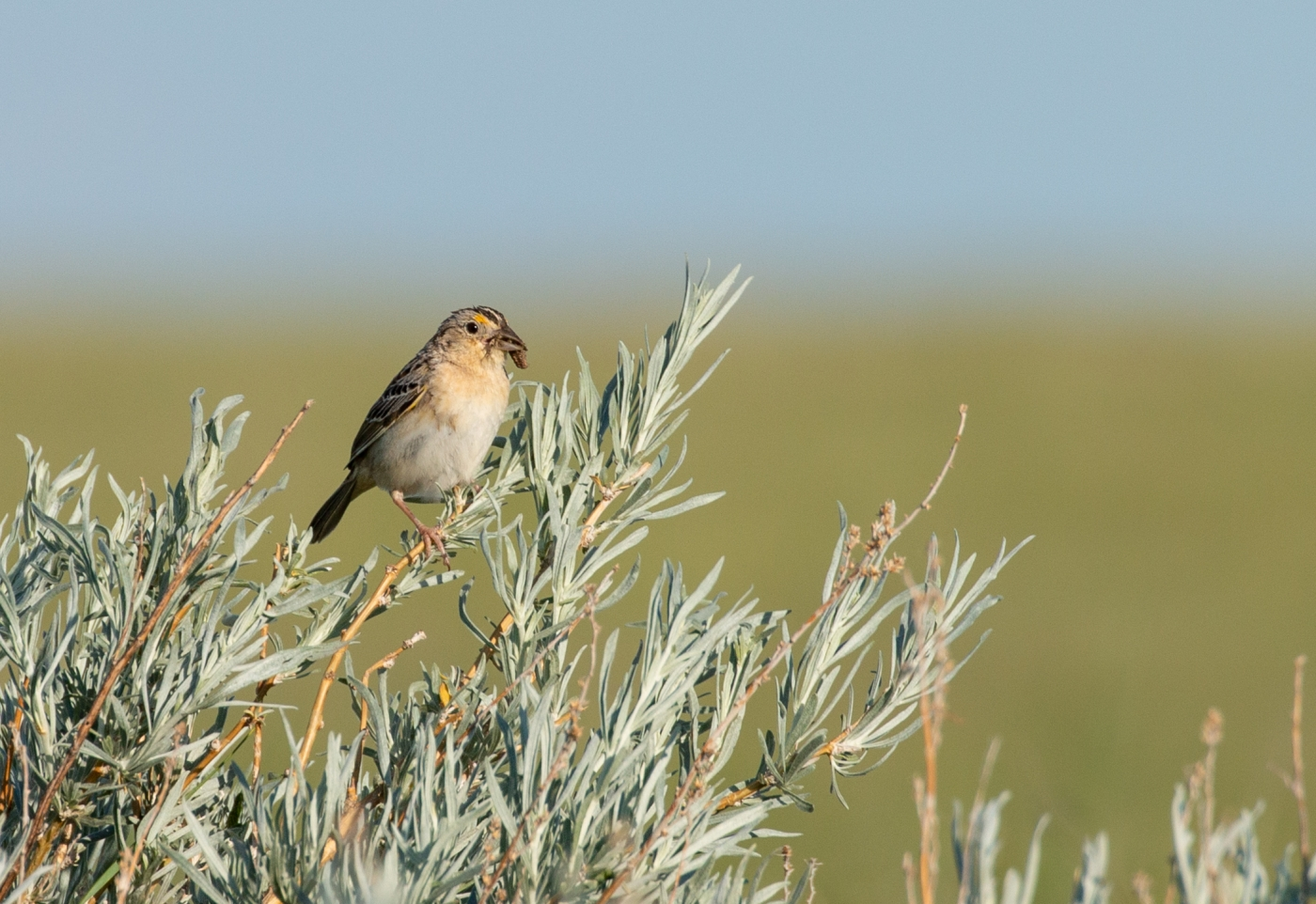 A small bird, called a grasshopper sparrow, perched on a thin branch of a leafy bush with a piece of food in its beak