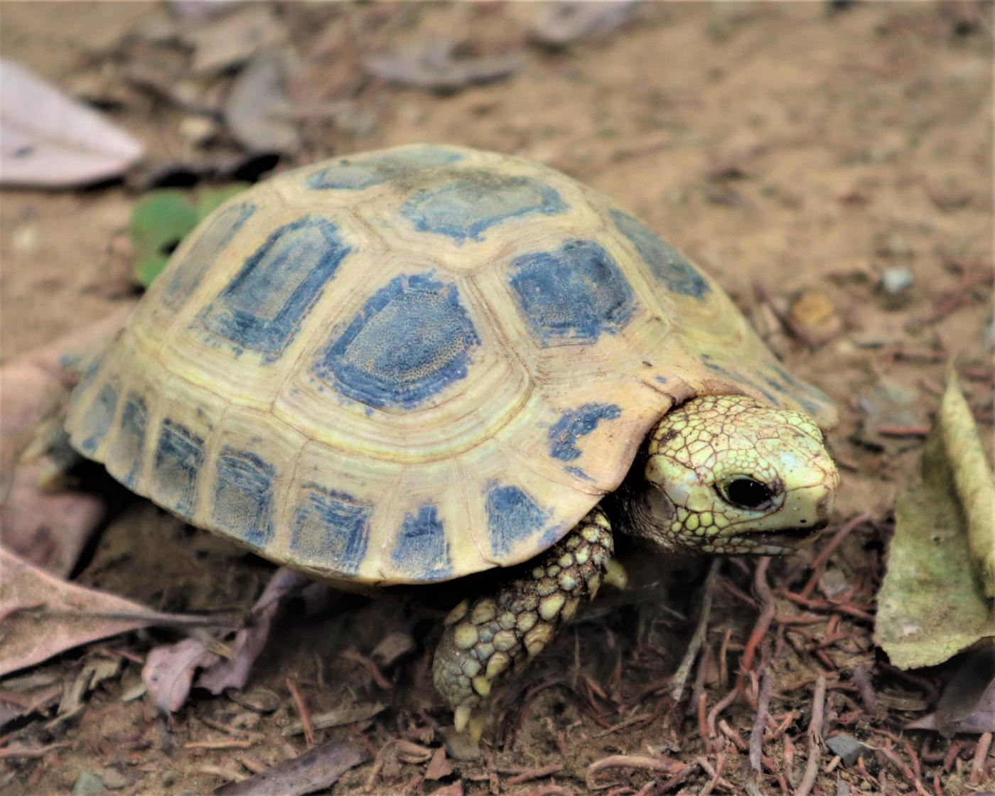 Yellow tortoise hatchling in rescue facility in Myanmar.
