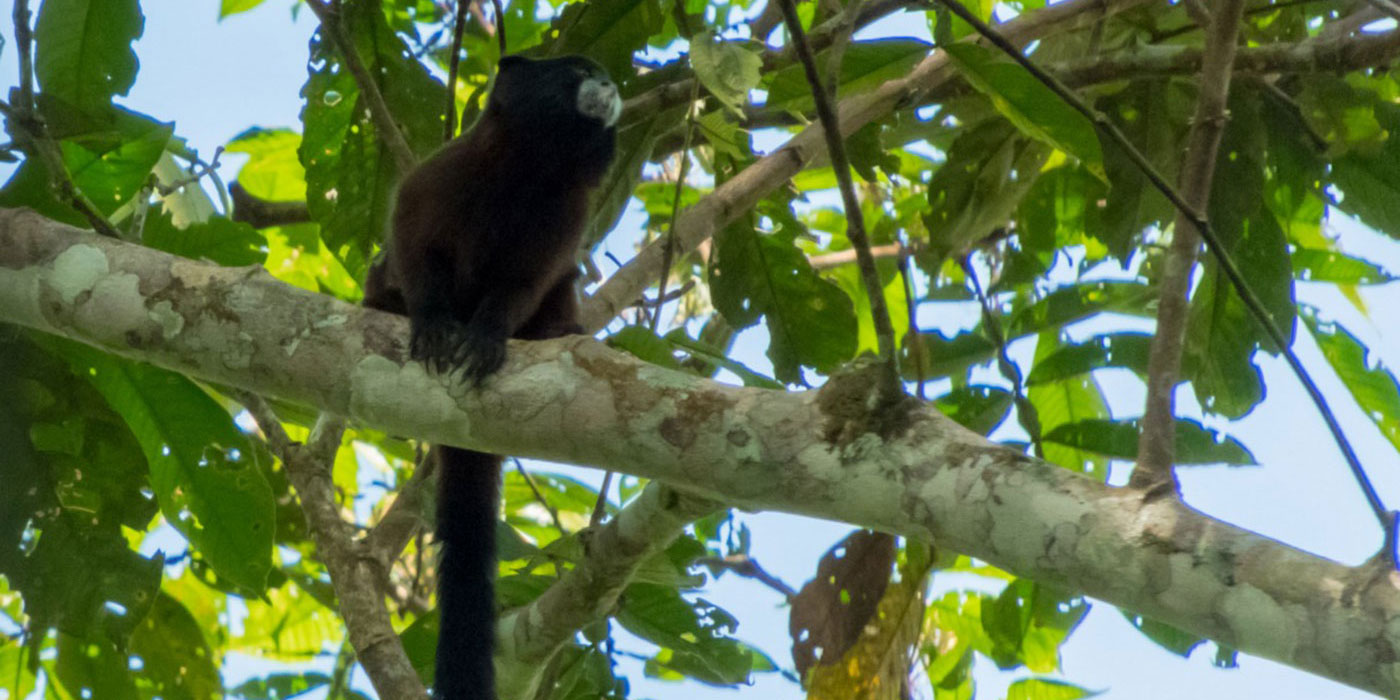 A dark brown tamarin perched on a tree with green leaves in the Peruvian Amazon