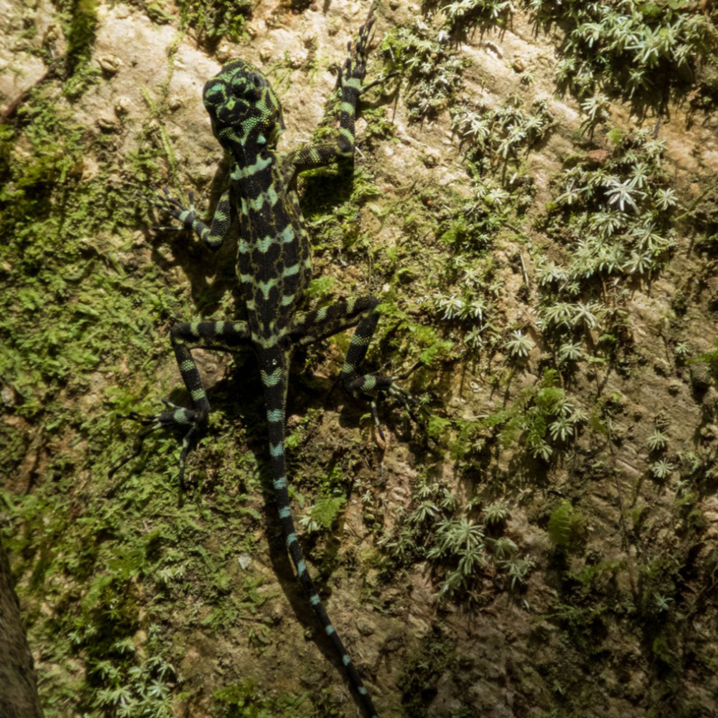 A small lizard climbs up the side of a tree, blending into the bark and moss