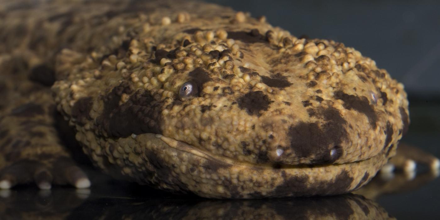 Japanese giant salamander
