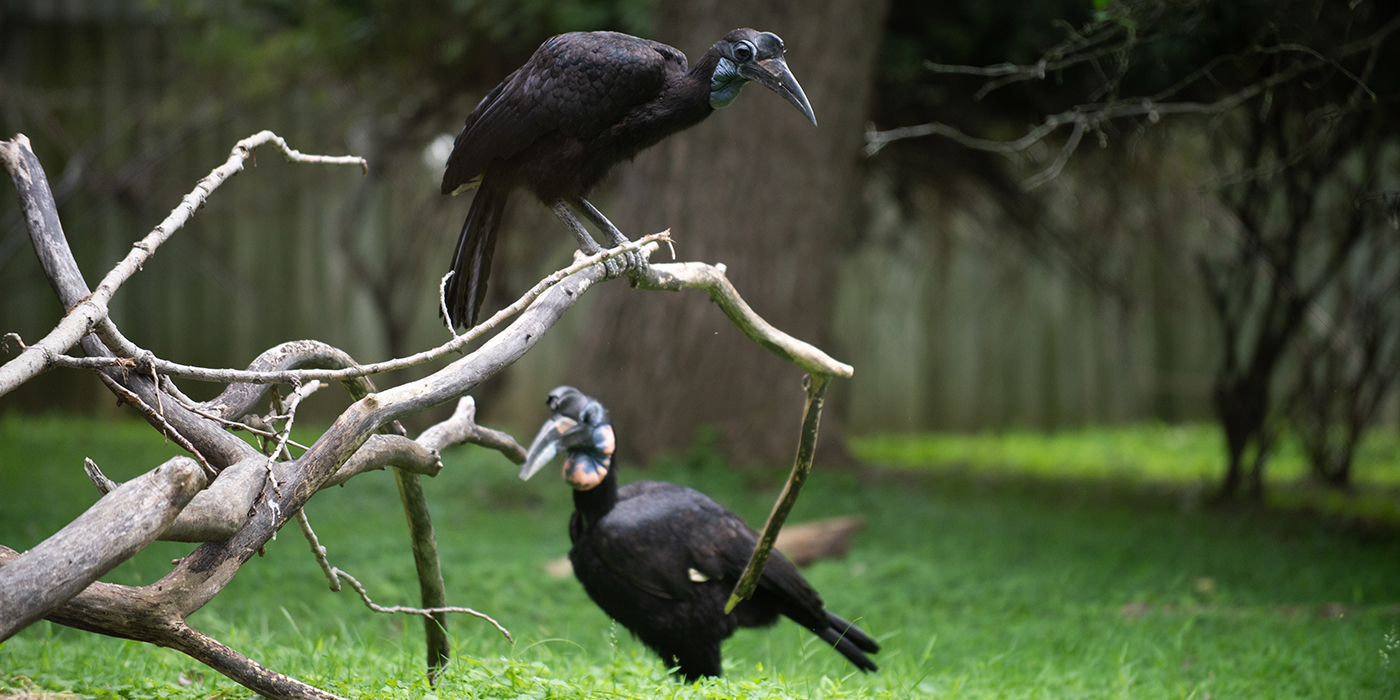 A female Abyssinian ground hornbill perched on a branch over a male Abyssinian ground hornbill standing in the grass. Both birds are large with dark, black feathers and long, curved beaks