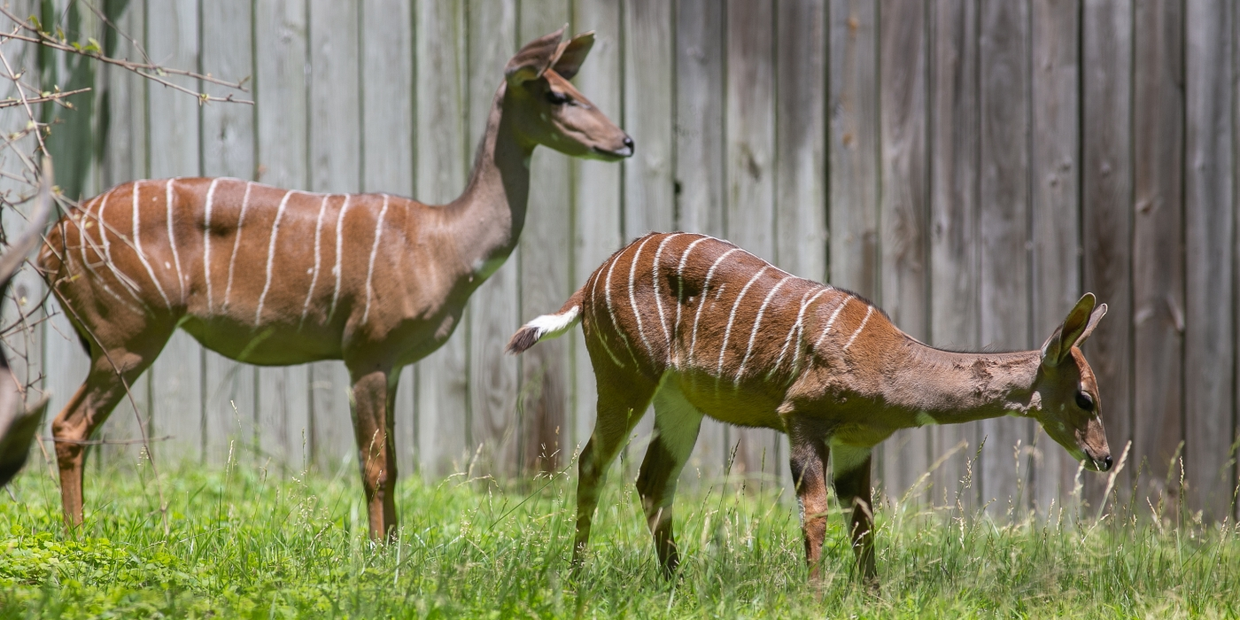 Two lesser kudus — with long necks, large ears, short tails and light brown skin with thin white stripes — graze in the grass