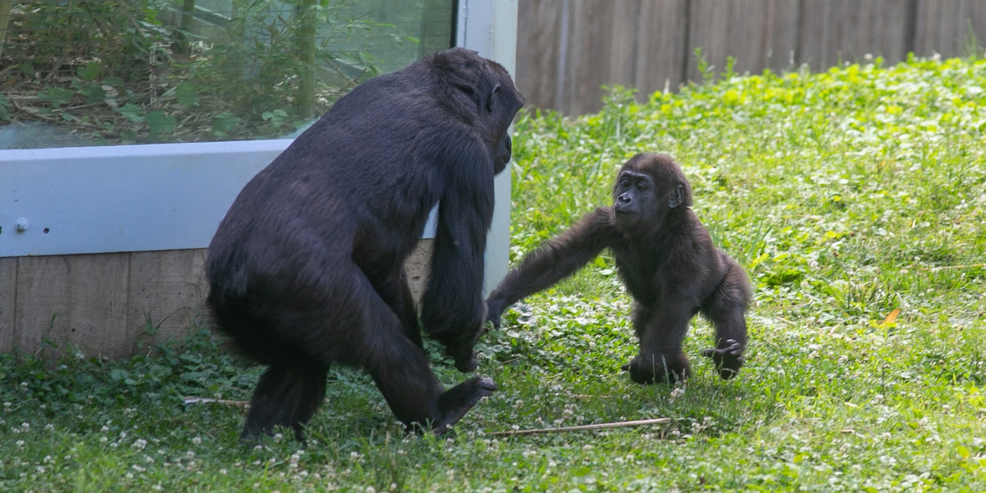 Western lowland gorillas Kibibi and Moke in their grassy, outdoor yard at the Smithsonian's National Zoo