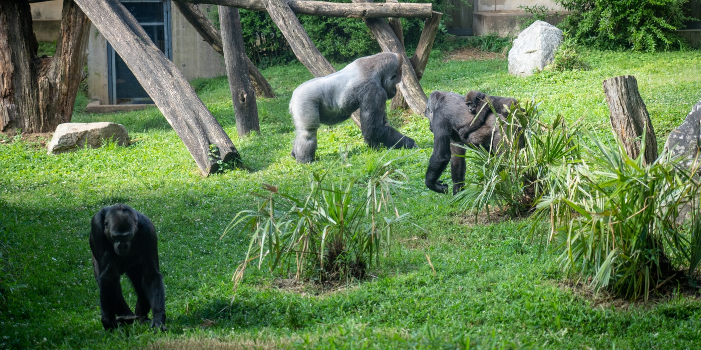 A western lowland gorilla troop, including an adult male, two adult females and an infant, explore their grassy outdoor yard at the Smithsonian's National Zoo. The infant gorilla, Moke, rides on its mother's back.