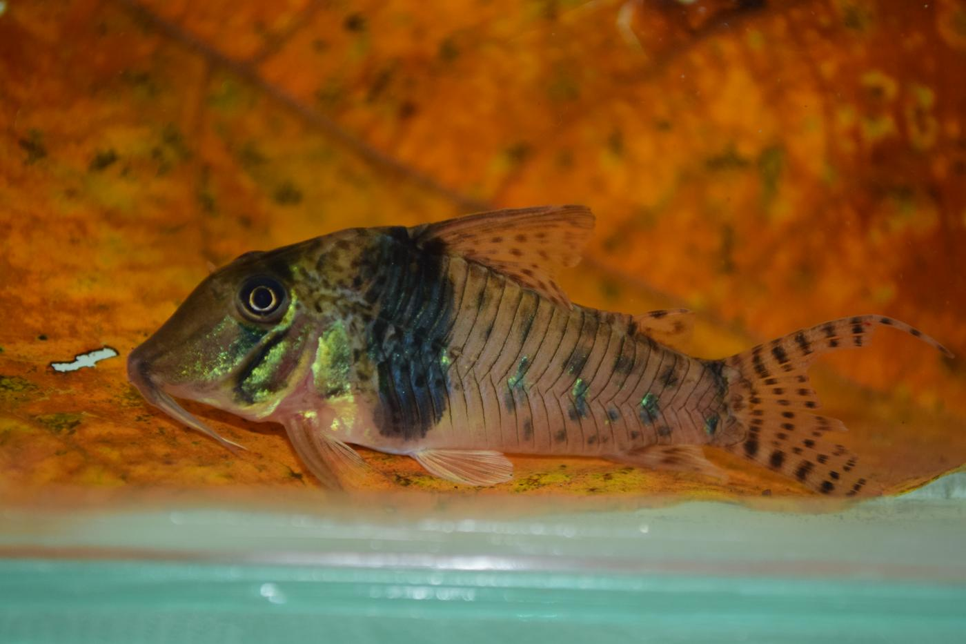 A small catfish, called a pastaza cory, with short barbels (or whiskers) extending from its mouth, small fins and a short, triangular tail. It has a thick stripe around its midsection and smaller stripes near the back of its body and on its tail