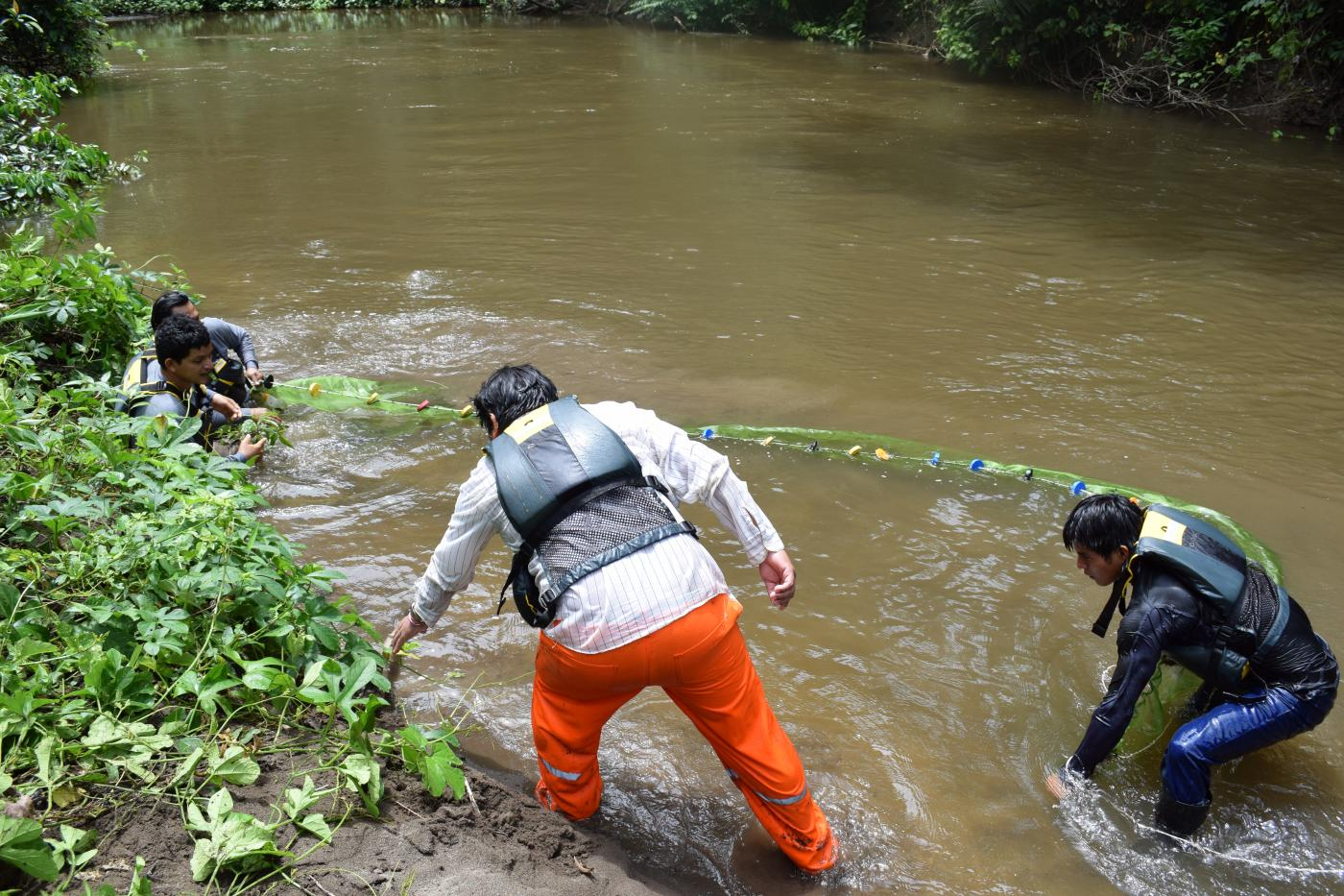 A group of researchers wade into a murky stream in the Peruvian Amazon and use a beach seine to catch fish