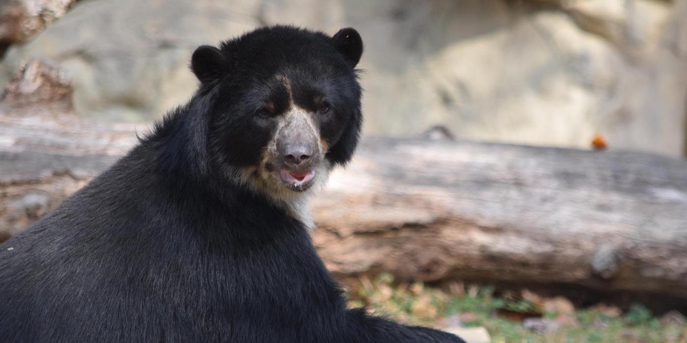 Andean bear Quito