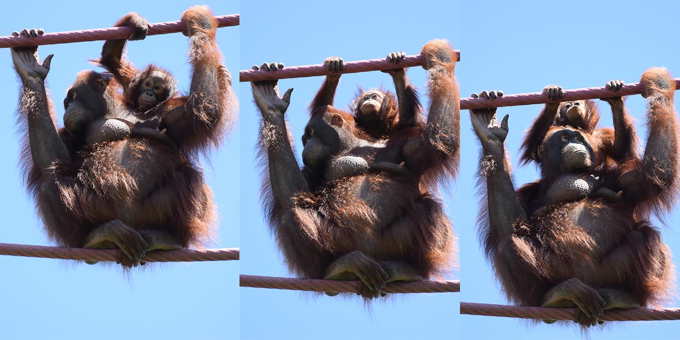 Orangutans batang and Redd cross the O-Line