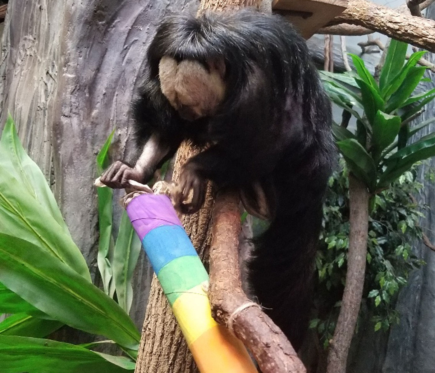 A saki monkey searches for treats inside a cardboard tube painted in rainbow colors