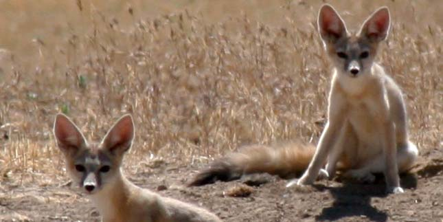 San Joaquin kit foxes in California. Photo courtesy of Mike Westphal, Bureau of Land Management.