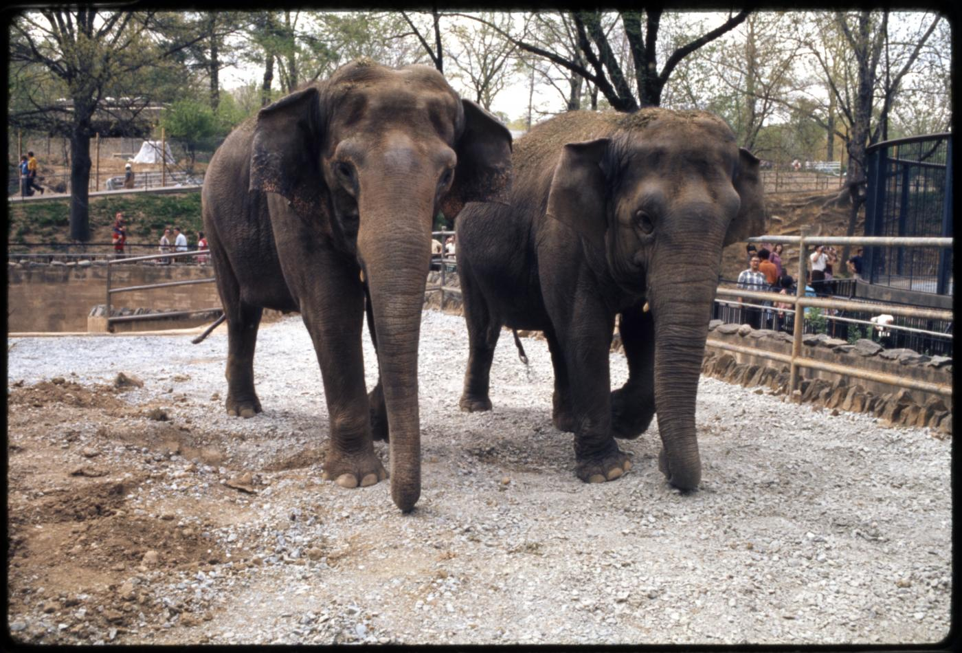 Asian elephants Ambika and Shanthi at the Smithsonian's National Zoo in 1973.
