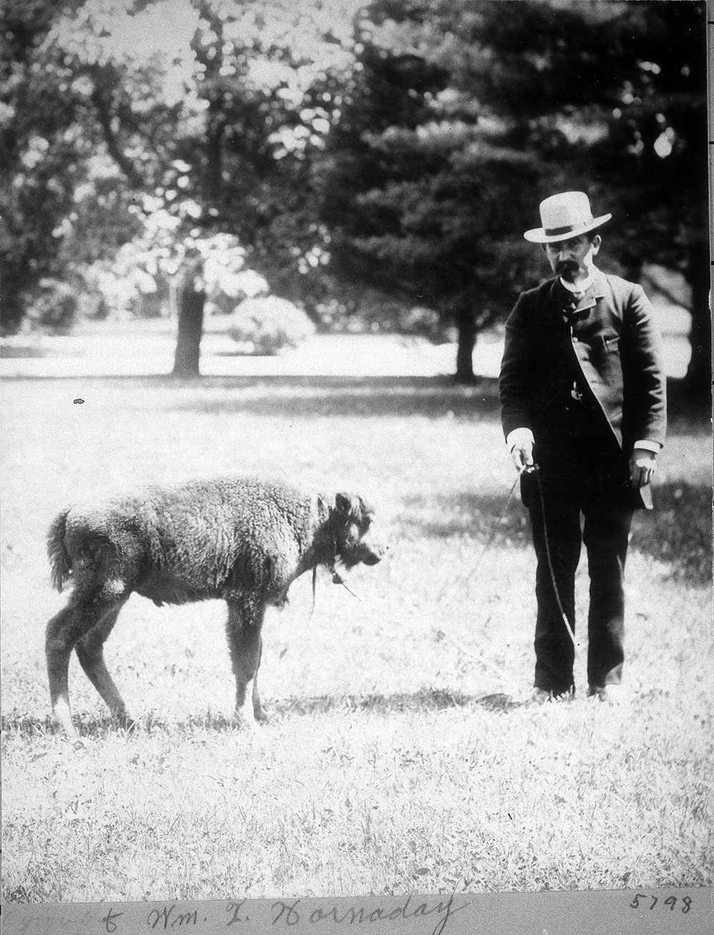 William Temple Hornaday, the Smithsonian's first head of the Department of Living Animals, stands with a bison calf on the National Mall in 1886