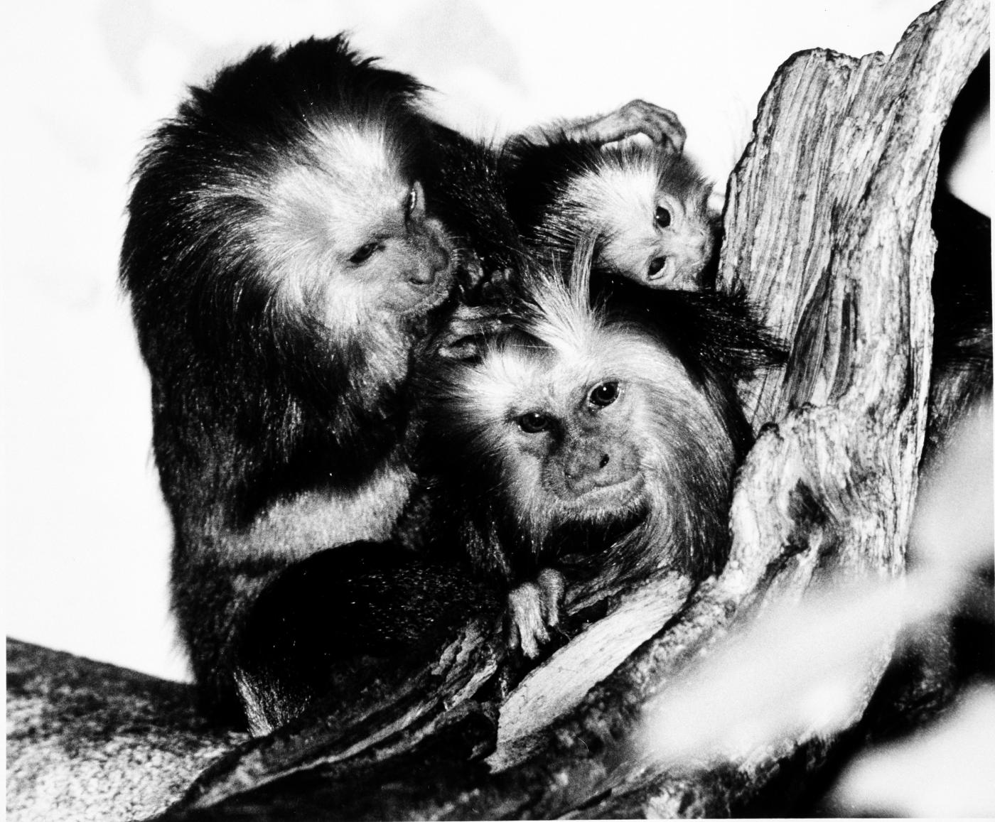A family of endangered golden-headed lion tamarins at the Smithsonian's National Zoo in 1986.
