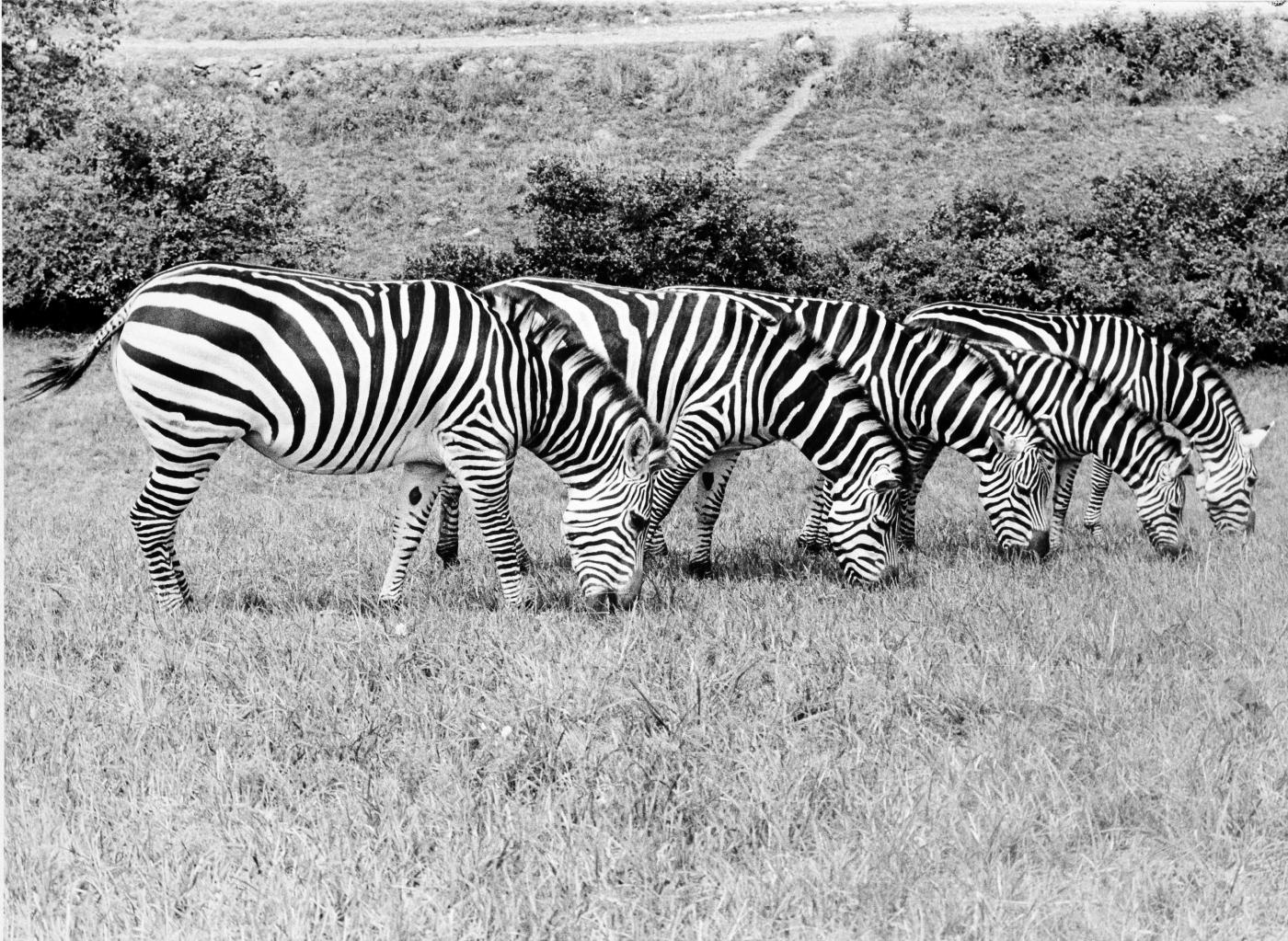 Zebras grazing at the Conservation Research Center (now called the Smithsonian Conservation Biology Institute) in 1979.