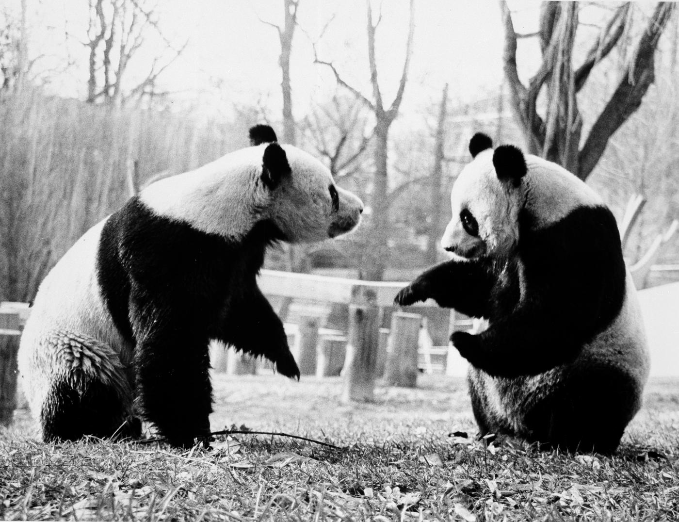 Giant pandas Ling-Ling (left) and Hsing-Hsing (right) spend time together in their outdoor habitat at the Smithsonian's National Zoo in 1985.