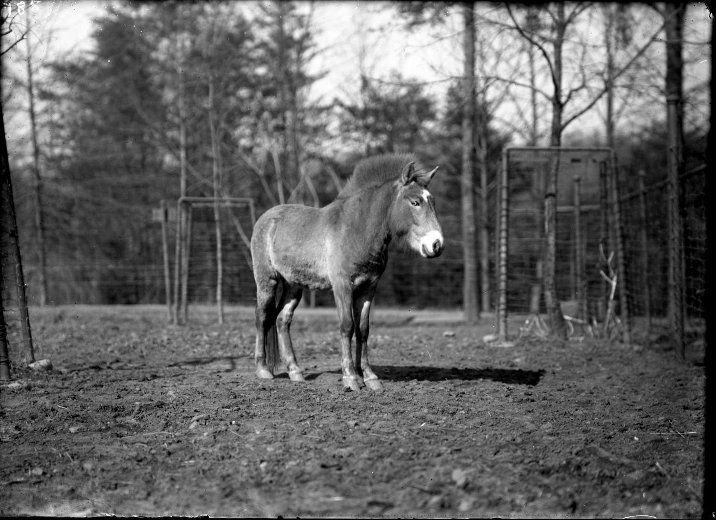 A Przewalski's horse at the Smithsonian's National Zoo in 1910.