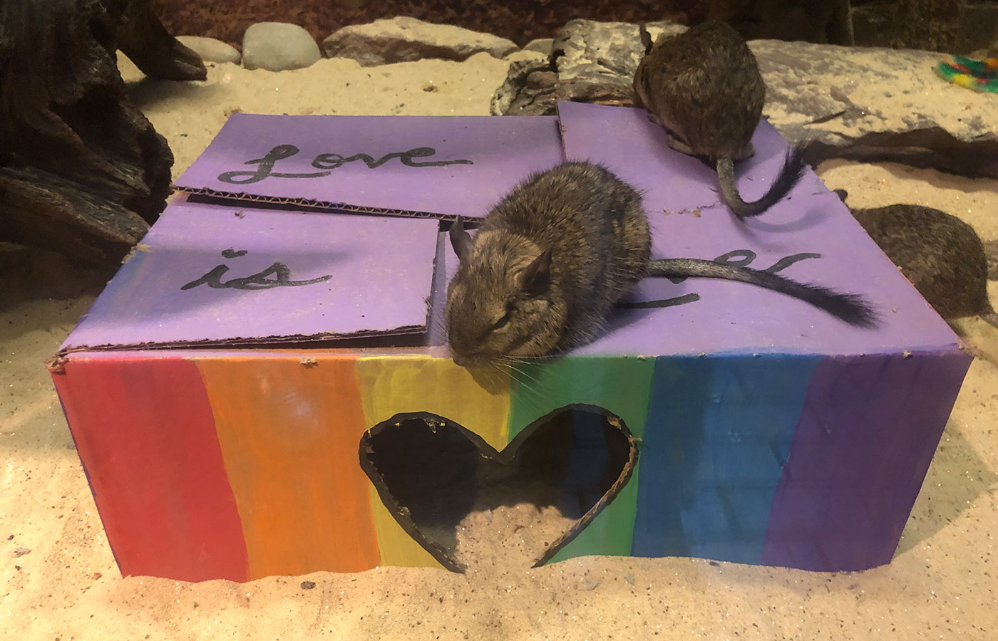 "Two degus rest on to of a box with rainbow paint, a heart-shaped cutout and the text ""Love is love"""