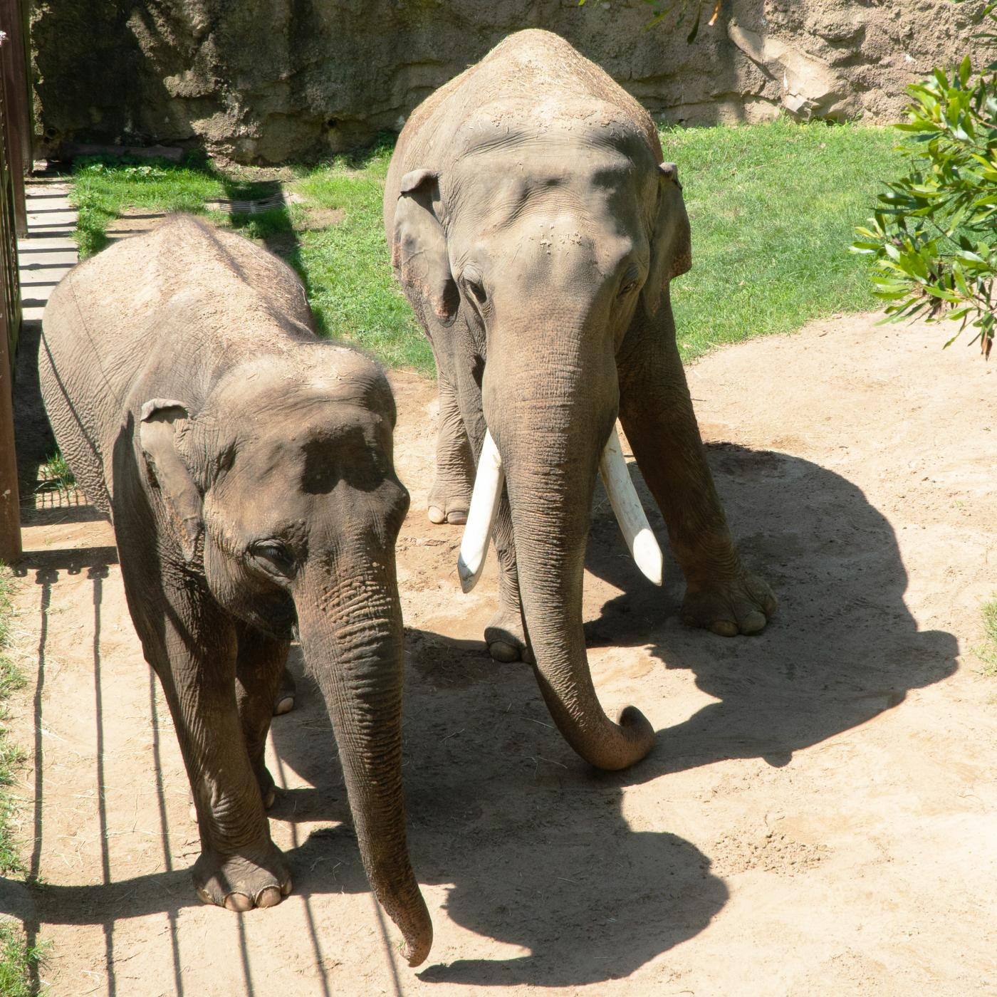 Asian elephants Spike and Maharani