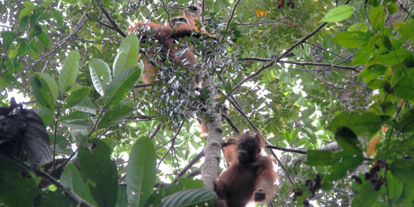 Orangutans in the Trees in Indonesia