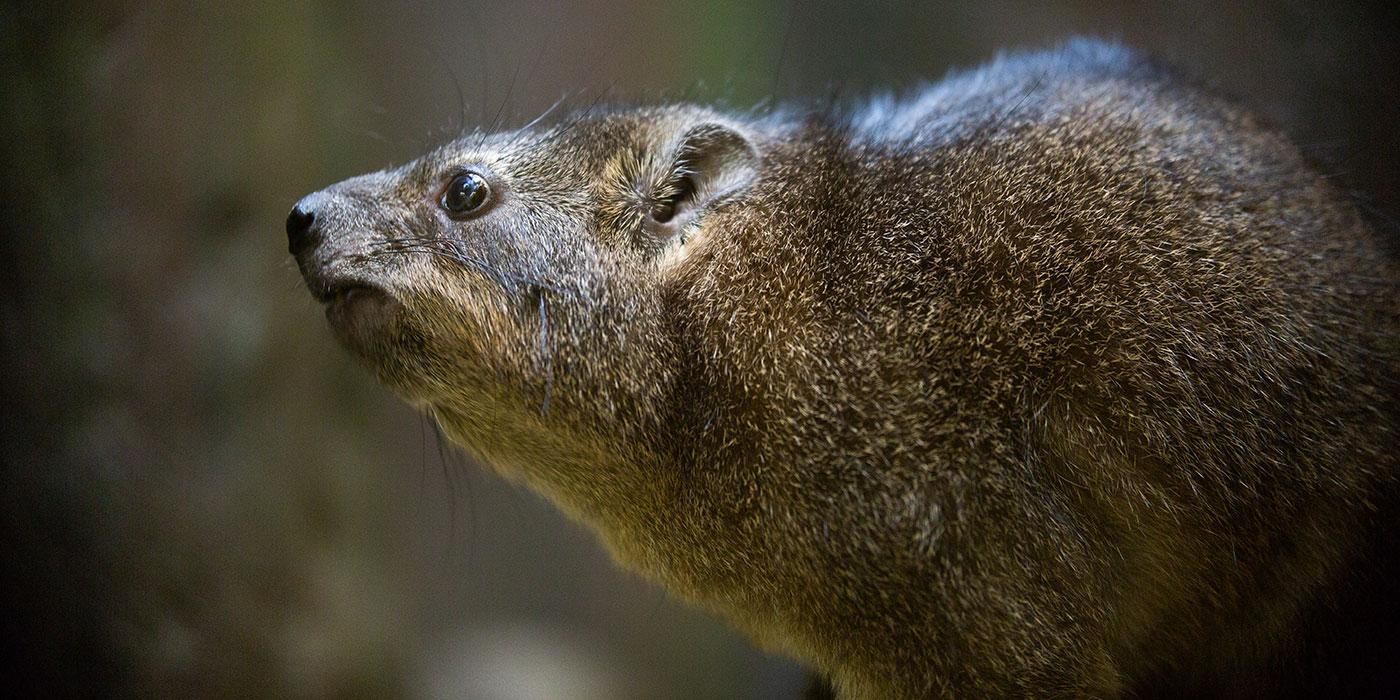 A small, furry brown mammal, called a rock hyrax