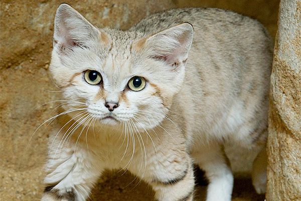 sand cat looking directly into camera