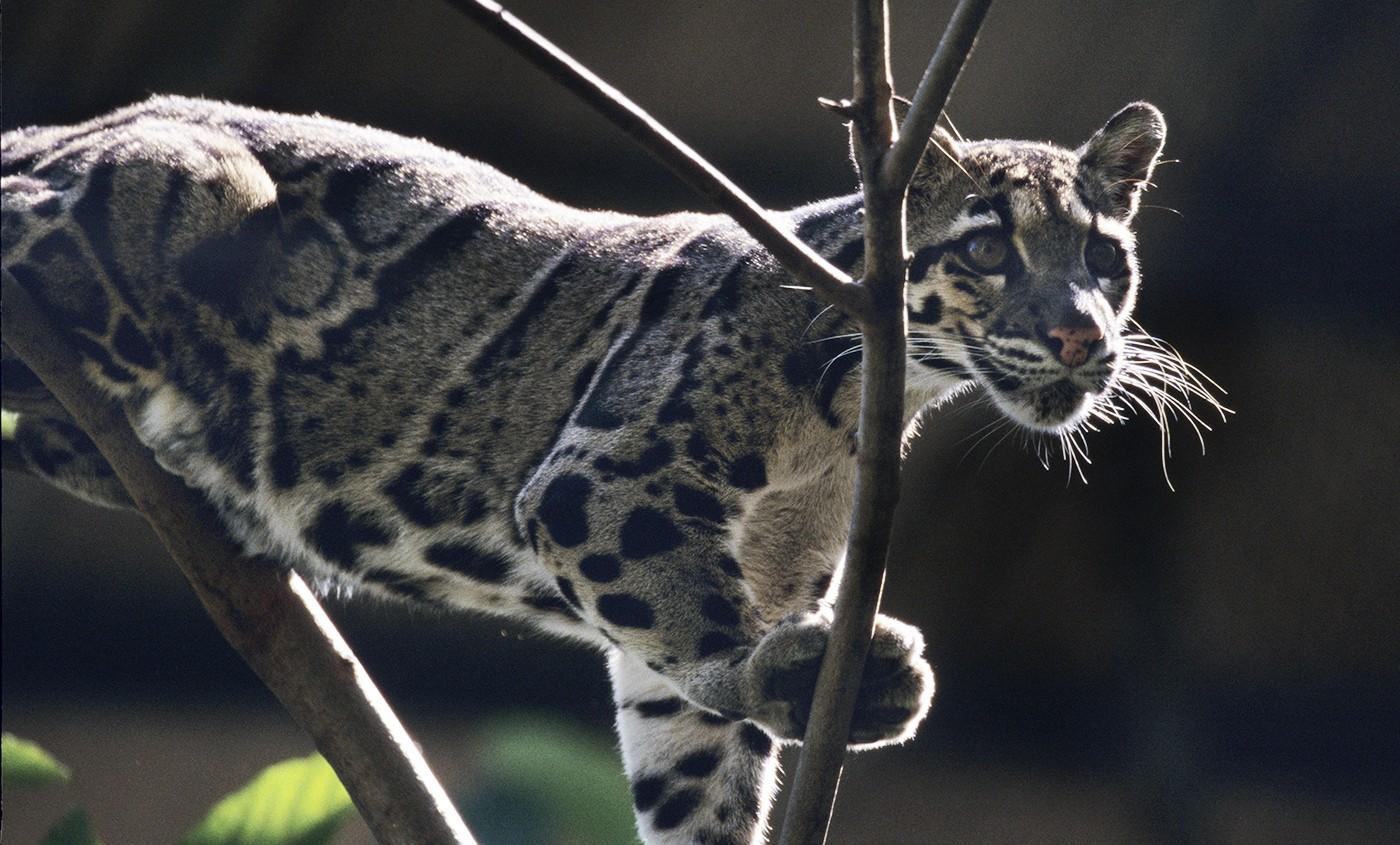 clouded leopard සඳහා පින්තුර ප්රතිඵල