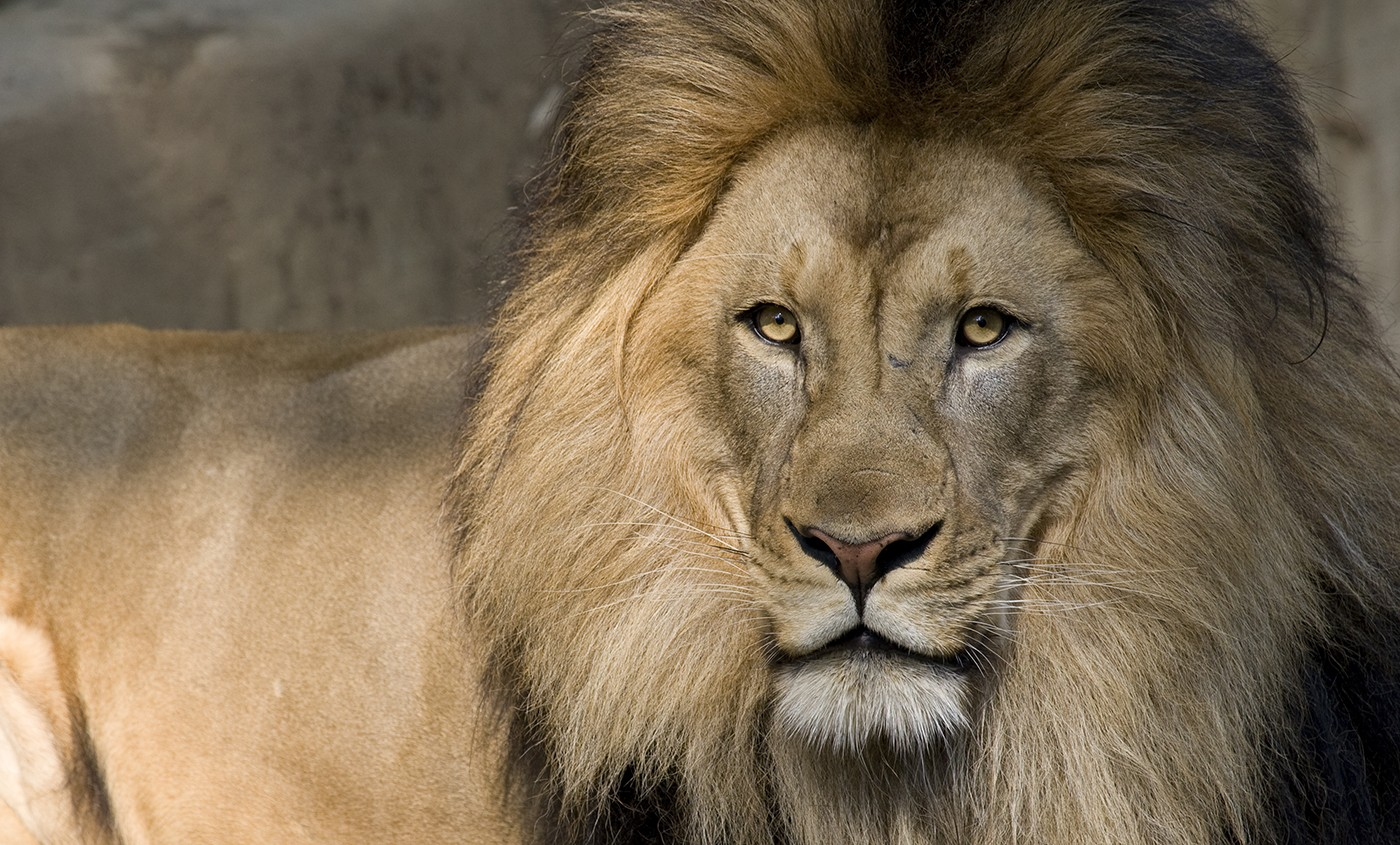 Lion   Smithsonian's National Zoo
