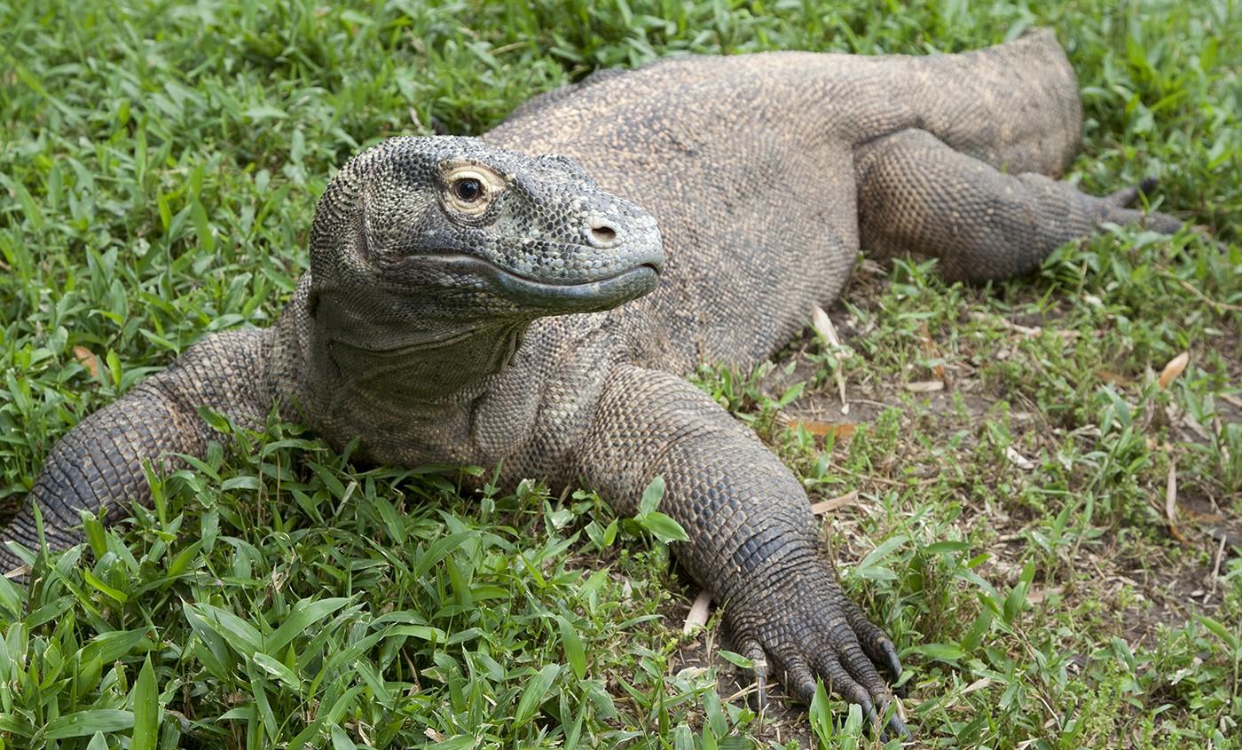 Komodo Dragon Smithsonian S National Zoo